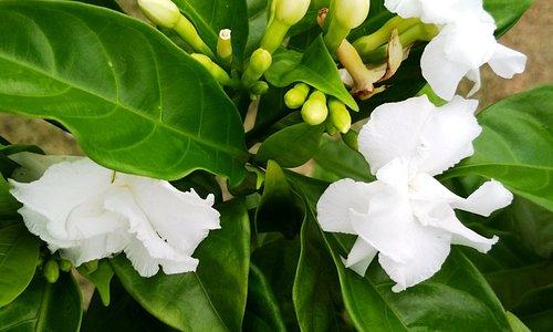 Cape jasmine flowers