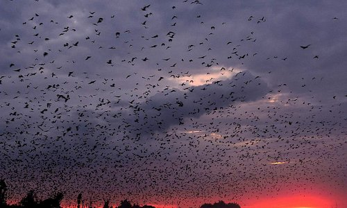 """""""The Bat Migration is one of the most jaw-dropping spectacles of nature and an absolute must to experience! While the sheer volume of bats is special, it is the atmosphere surrounding this phenomenon that really gets things worked up - the dramatic skies, the large raptors swooping through the bats and taking them on the wing and of course, the usual Kasanka specials like the rare sitatunga grazing out in the misty dambos in the morning. It really is a mecca for a true safari enthusiast."""""""