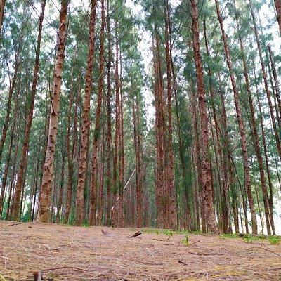 Pantai kundur near pantai mek mas and pantai cahaya bulan, Kota Bharu Kelantan. This place is very nice with the pine trees.