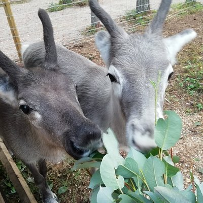 Reindeer Hilima and Valkko