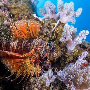 Thomas Vignaud's exquisite pic of a 2 spot lion fish in Mauritius