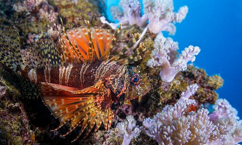 Thomas Vignaud's exquisite pic of a 2 spot lion fish in Mauritius