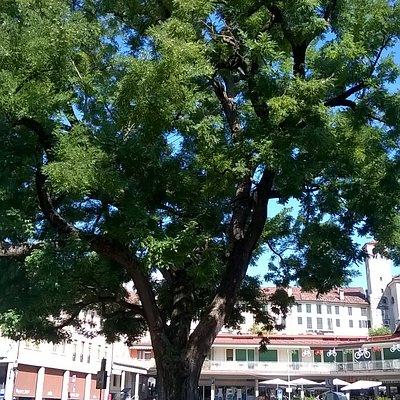 Sophora Japonica si trova in piazza Vittorino da Feltre.