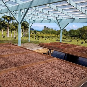 Cacao beans drying in the sun at Mauna Kea Cacao.