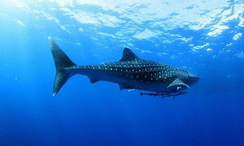 Whaleshark @ Similan Islands