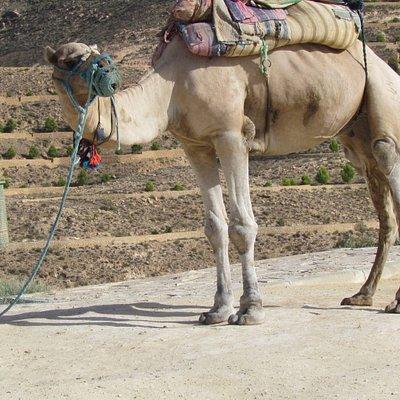 Kamel am Aufgang zur Aussichtsplattform - für das Fotografieren wird Geld verlangt (ebenso wie für den Greifvogel, der bei einem Mann auf dem Arm sitzt und den Touristen für ein Foto entgegengestreckt wird)
