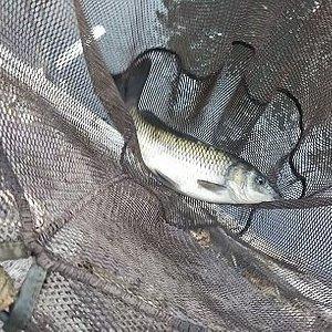 釣果は鯉2匹。難しい。