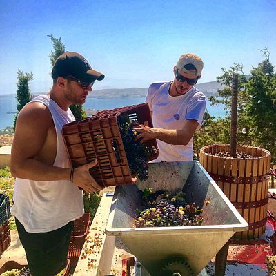2019 grape harvest