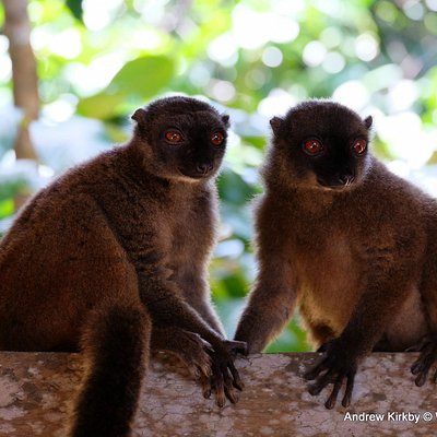 Brown lemurs, Makira NP.