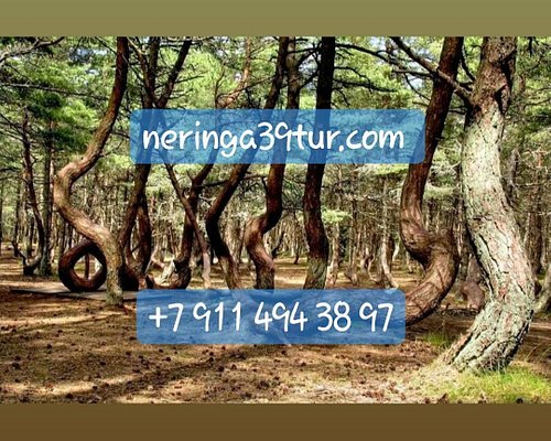Куршская коса-танцующий лес с neringa39tur