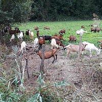 Les biquettes de la chèvrerie de Vions