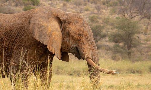 Samburu elephant. An exceptional sight when you visit Samburu National Park in Kenya.