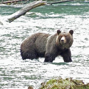 Toba grizzly searching for fish