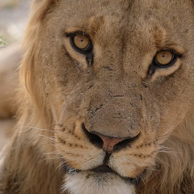 Zu Gast bei den Tieren - nie hätten wir erwartet, einem Löwen in die Augen zu sehen, der ganz ruhig blieb... wir hingegen  hielten die Luft an...