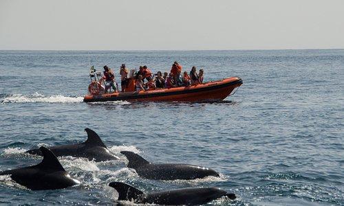 Bottlenose dolphins | Golfinhos-roazes Tursiops truncatus