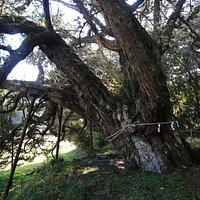 十二天神社:沼のビャクシンを斜め後ろから撮影