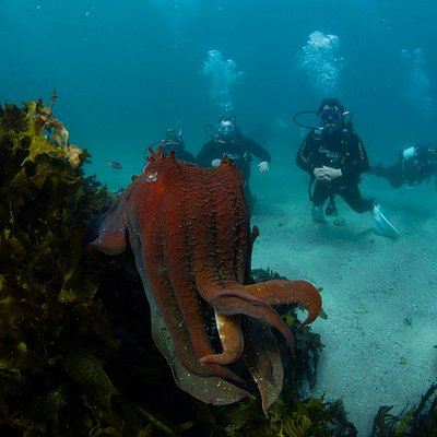 See cuttlefish, so many sharks, octupus, coral, sea dragons, blue gropers, wrassed, nudibranch, sea urchins and maybe even a turtle or dolphin when diving our incredible local Marine Reserve - Cabbage Tree Bay, off Shelly Beach, Manly.