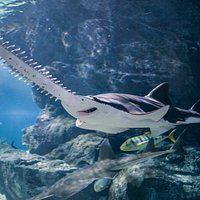 Large Tooth Sawfish