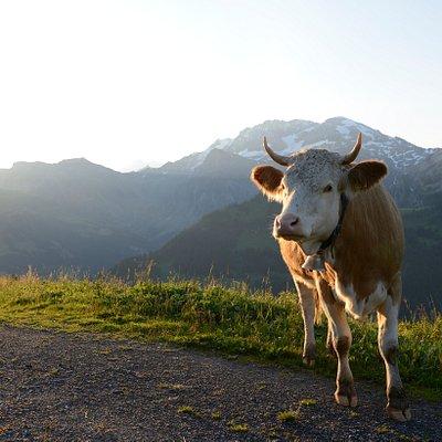 Die Weltbekannte Simmentaler Kuh ist besonders gross und sehr robust. Ihr Kopf ist weiss. Die Hörner sind kurz und nach vorne geschwungen. Das Fell ist hellbraun, rötlich mit weissen Flecken. Nur die Beine sind ganz weiss. Auf der ganzen Welt schätzt man die ausgezeichnete Milch der Simmentaler Kuh, ihr vorzügliches Fleisch und ihre hervorragenden Eigenschaften als Mutterkuh.