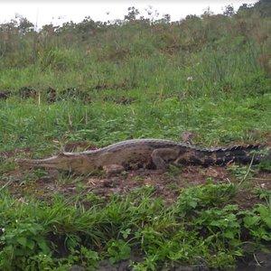Safari dans la vallée des élèphants, surprise un crocodile en pleine sieste.
