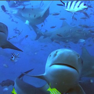 Just a few of the Bull Sharks we met