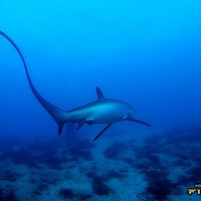 What a perfect visibility!! Good guide makes a difference ;) Thresher shark (Alopias vulpinus) with Malapascua Thresher Divers http://alpha-divers.pl/nurkowanie/rekin-kosogon-thresher-shark-alopias-vulpinus/