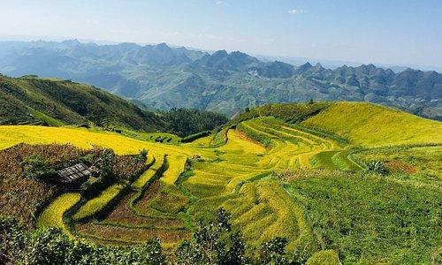 Beautiful Ripe Rice season in Northwest Vietnam --- See more interesting things here: www.vietlongtravel.com / www.vietnamholidays.tours