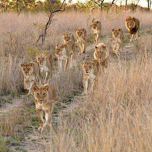 Lion_pride_masai_mara_national_reserve