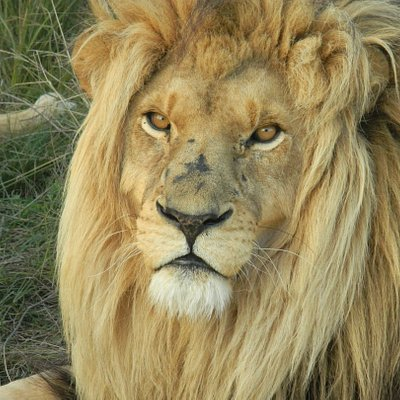 See some lions on our Garden route adventure tour! 7 Days packed with adventure and animals. Visit 2 National Parks, go Surfing in Jeffrey's Bay and many more! An opportunity not to be missed
