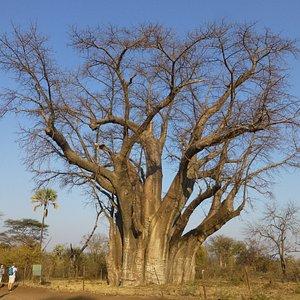 It's the Big Tree