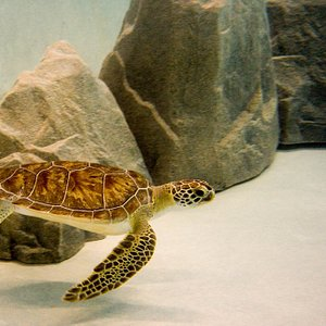 Meet Sweet Pea, deemed non-releasable by the State of Florida due to injuries sustained from entanglement in marine debris, she is NBSTCC's resident sea turtle.