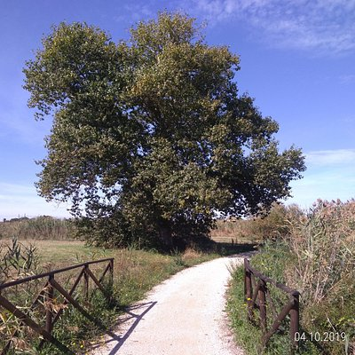 A majestic poplar on the route, just south of the Borghetto hamlet.