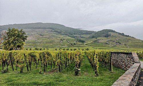 Domaine Weinbach surrounding vineyards