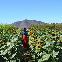 A really large sunflower field with at least 3 varieties of sunflowers