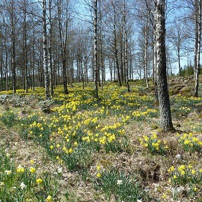 Fagerås påskliljor utanför Gislaved