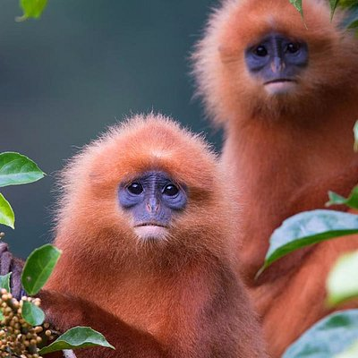Up Close & Personal with Red Leaf Monkeys. Wildlife Safaris With Adventures In Borneo.