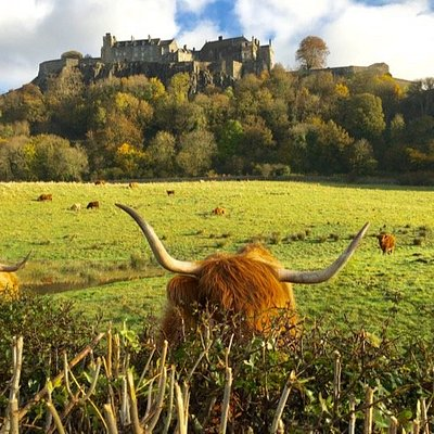 Stirling Castle behind and in the foreground, a Highland cow