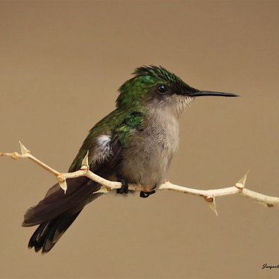 The Antillean Crested Hummingbird is one of Anguilla's Lesser Antilles Restricted Range Species.