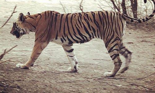 T-8 aka Laldi Ranthambore Tiger Safari
