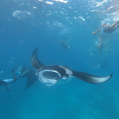 Snorkeling with the Manta Ray