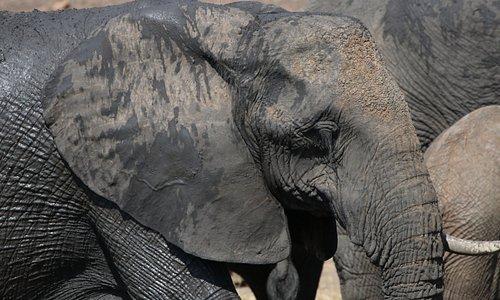 Ntandanyathi Bird & Game Hide - elephant (close up)