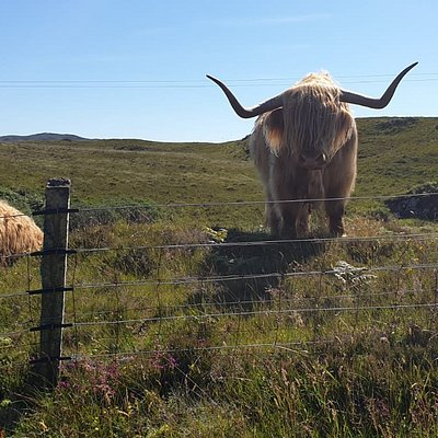 Say hello to a 'Hairy Coo'