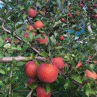 捥ぎ取りのりんご狩りはやってないのですが、無理言って園内に入れていただき、福島ならではの真っ赤に育つた「ひめかみ」を撮りました。良く撮れたので携帯の待ち受けにしたいと思います。