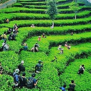 Harvesting the tea leaves is another great attraction after watching the beautiful sunrise.