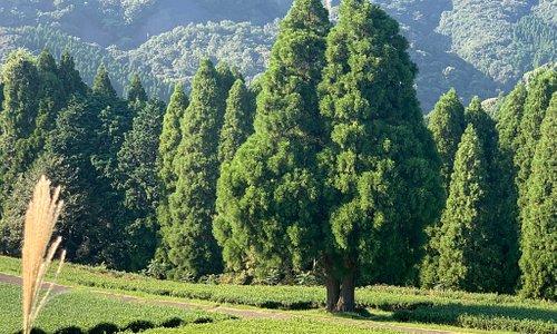 北浦町 地下の茶畑  一面に広がる段々の茶畑がきれい。