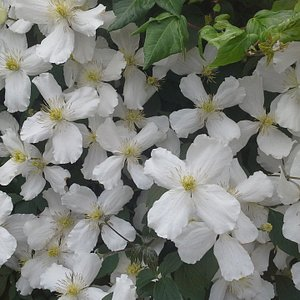 This is my original clematis growing in my garden. This is also the picture, i had shown the staff at Fairfields Garden Centre.