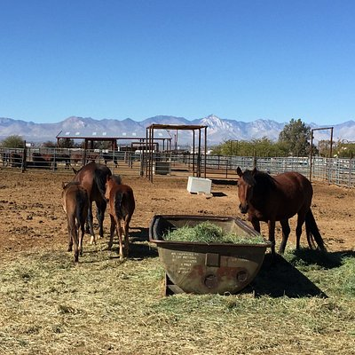We frequently stop by to feed the horses and burros when on our way out to or back from Death Valley.  Pick up a giant bag of carrots at the local grocery store.  Some horses are more socialized than others. They group them according to how wild they are.