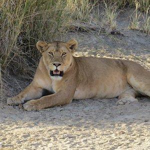 Lion Safari in Tanzania