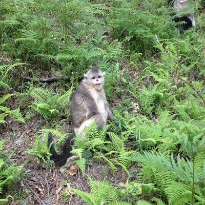 Tacheng,Golden snub Monkey National park