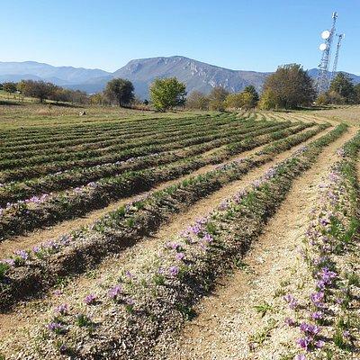 The field of saffron